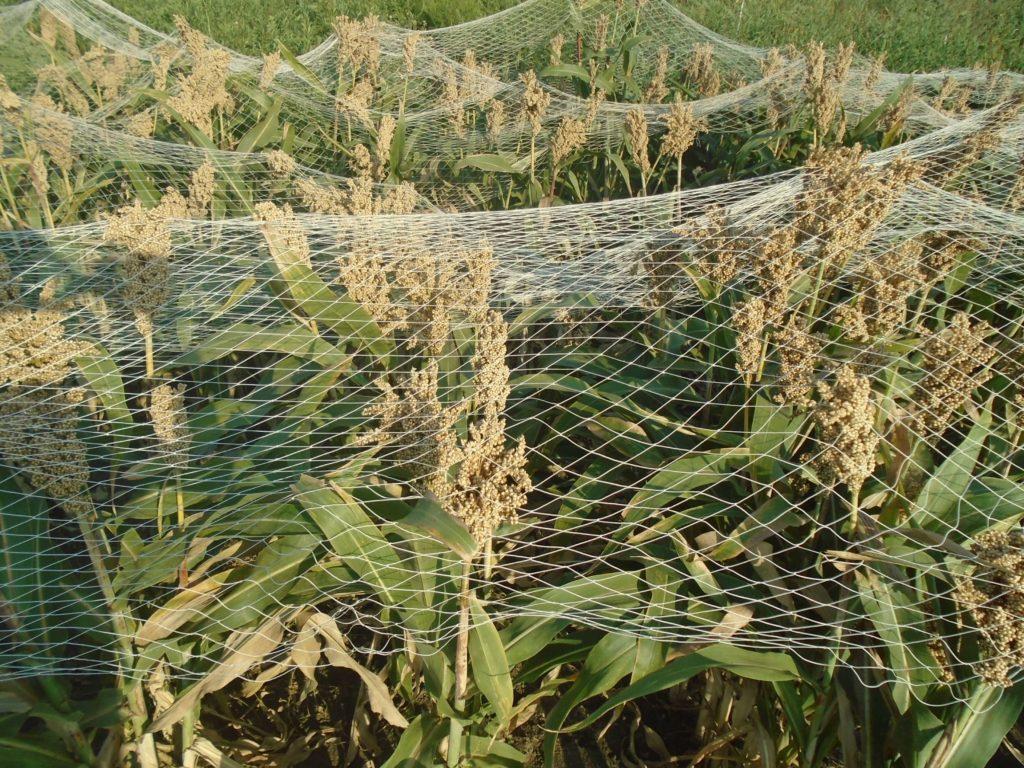 Защита урожая рыболовной сетью от воробьёв